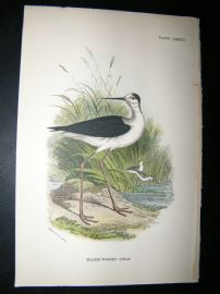 Allen 1890's Antique Bird Print. Black-Winged Stilt